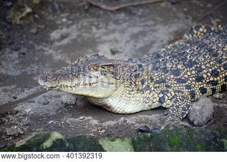 Irian Crocodile (crocodylus Novaeguineae) Is A Species Of Crocodile That Is Found Spreading In The F