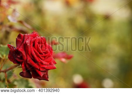 Lush Red Rose Against The Backdrop Of The Garden. Soft Focus. Beauty In Nature. Floriculture.