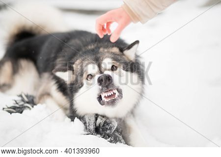 Young Angry Alaskan Malamute Try To Bit Womans Hand In Snow. Dog Winter.