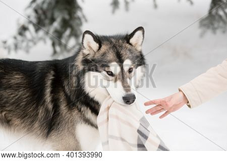 Young Alaskan Malamute Playing With Blanket In Snow. Dog Winter.