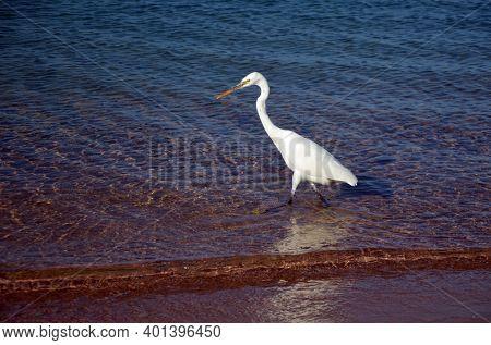 White heron in Egypt, Sharm El Sheikh