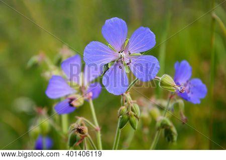 Delicate Blue Flowers Of The Meadow Geranium ( Geranium Pratense)