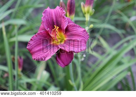 Purple D'oro.luxury Flower Daylily In The Garden Close-up. The Daylily Is A Flowering Plant In The G