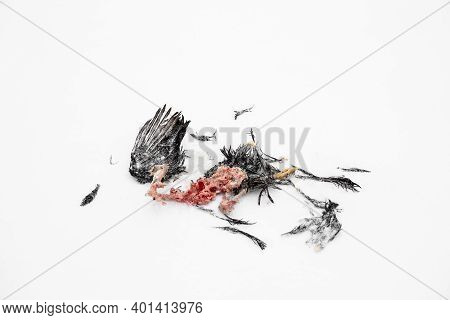 The Decaying Corpse Of Dead Bird On The Winter Snow Background. The Animal Caught And Ate The Caught