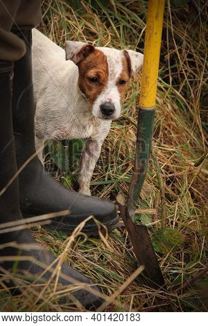 Brown And White Ratting Jack Russell Terrier By Spade And Wellie