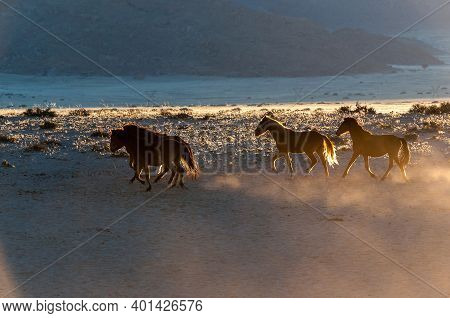 Wild Horses Of The Namib Running At Sunrise. Photo Taken At Garub