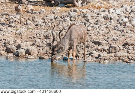 A Male Greater Kudu, Tragelaphus Strepsiceros, Drinking Water