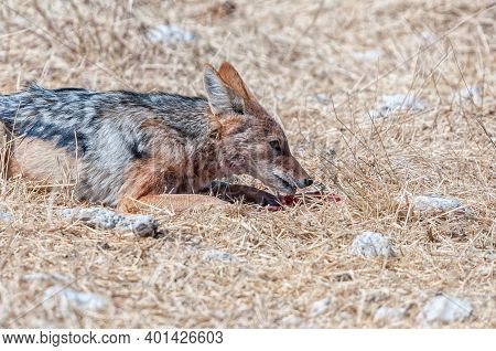 A Black-backed Jackal, Canis Mesomelas, Eating A Piece Of Meat
