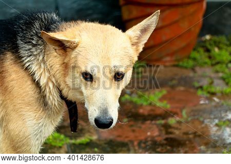 Cute Pet Dog At Home After Bathing. Cross Breed Of German Shepherd And Doberman