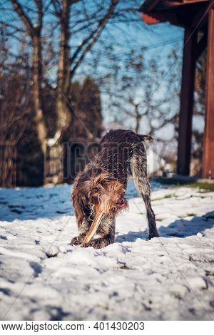Rough Coated Bohemian Pointer Gnaws At An Oak Log In A Garden Covered In Snow. The Joy Of Biting. Bo