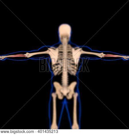 Flexor Carpi Ulnaris Muscle Anatomy For Medical Concept 3D Illustration