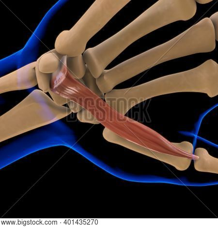 Flexor Pollicis Brevis Muscle Anatomy For Medical Concept 3D Illustration