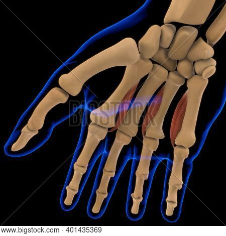Palmar Interossei Muscle Anatomy For Medical Concept 3D Illustration