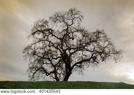 Lone Oak Tree On Hilltop With Sunset Skies. Pleasant Hill, Contra Costa County, California, Usa.