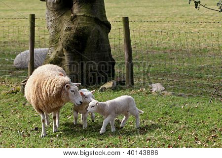 Lambs with ewe in spring time in sheep pasture field.