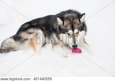 Young Alaskan Malamute Lying And Playing With Violet Ball In Snow. Dog Winter.