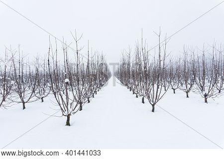 Snowy Orchard On A Winter Day, Bare Fruit Trees In A Snow Covered Meadow