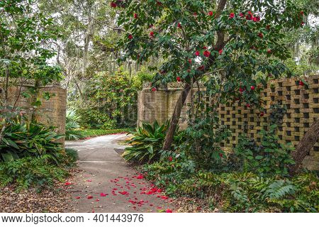 Winter Gardening In Warmer Climate.  Bright Red Petals Of A Quince Tree Line A Garden Path And Add C