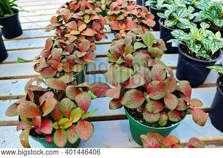 Rows Of Potted Nerve Plants Ready For Sale.