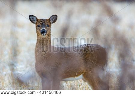 White-tailed Deer (odocoileus Virginianus) Standing In A Clearing With Frost On Her Whiskers And Bac