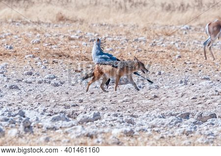 A Black-backed Jackal, Canis Mesomelas, Walking Past A Secretary Bird