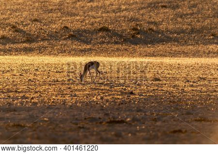 A Springbok Grazing At Sunset At Garub Near Aus In Namibia