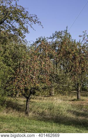 Apple Trees With Red Apples On The Green Field