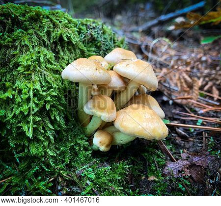 Clustered Woodlover Mushrooms Growing On The Base Of A Moss Covered Tree In The Forest. Also Known A