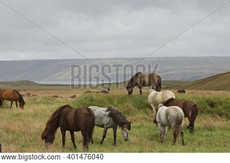 Icelandic Horse In The Field Of Scenic Nature Landscape Of Iceland. The Icelandic Horse Is A Breed O