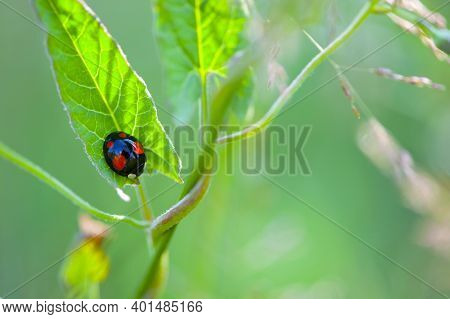 Natural Green Background, Close-up Black With Red Dots Ladybug Sitting On Green Leaves. Insect Macro