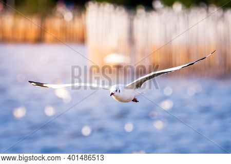 The White Seagull Expands Its Wings Wide, Flying Over The Water Surface At Bang Pu Sea, Bird Migrati