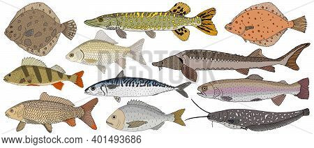 Collection Of River And Sea Fish Hand Drawn, Isolated. Turbot And Pike And Flounder And Perch And Cr