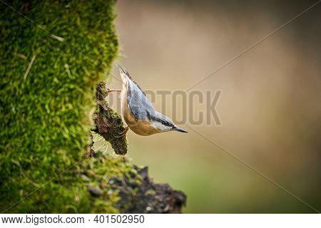 Close Up Wood Nuthatch