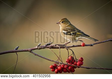 Sitting Common Chaffinch