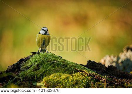 Blue Tit (parus Caeruleus) Cute Blue And Yellow Songbird