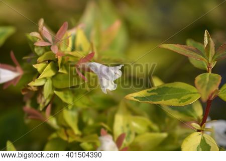 Abelia Kaleidoscope Flower - Latin Name - Abelia X Grandiflora Kaleidoscope