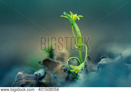 Beautiful Yellow Star-of-bethlehem Flower Blooming On A Forest Ground In Spring. Spring Flowers In N
