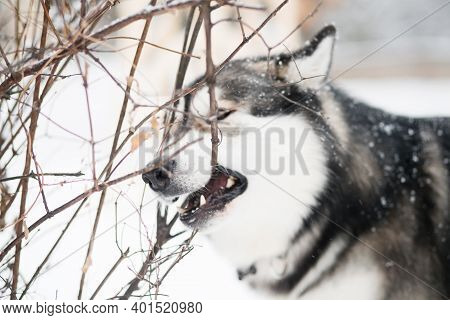 Young Alaskan Malamute Standing And Gnawing Branch In Snow. Dog Winter.