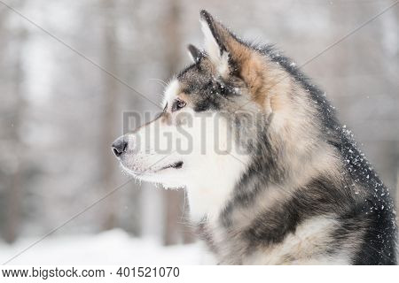 Young Beautiful Alaskan Malamute Looking Forward In Snow. Dog Winter Portrat