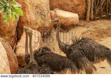 Couple Ostriches Struthio Camelus Eating Leaves In Zoo, Bali, Indonesia