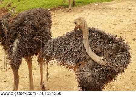 Close Up Of An Emu Dromaius Novaehollandiae, A Native Australian Flightless Bird