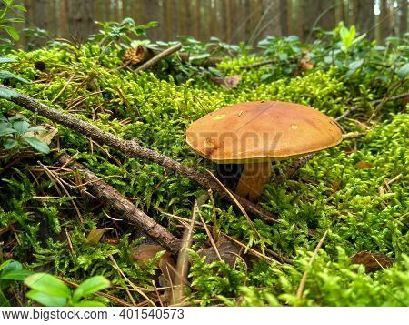 Edible Mushrooms Grow In The Forest In The Grass. Boletus Edulis With Wet Caps Grow From Moss. Penny