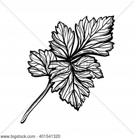 A Sprig Of Parsley Isolated On A White Background. Parsley Is A Herb For A Healthy Diet. Aromatic .