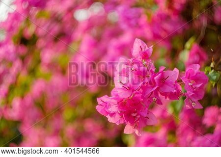 Magenta Bougainvillea Flowers. Blurred Magenta Bougainvillea As A Background.