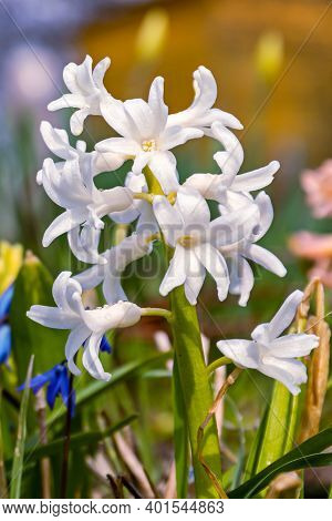 Blooming White Hyacinth With A Large Number Of Flowers. Beautiful Early Spring Flowers Were Used To
