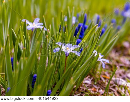 Spring Flowers Are Mouse Hyacinth, Or Muscari And Blue Scilla Luciliae. Flower Garden In Spring Days