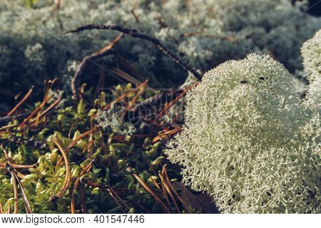 Closeup Of Reindeer Moss, Lichen, Twigs And Pine Needles, With Mossy Background. Arctic Boreal Zone,