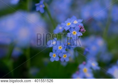 Macro Photo Of Bright Blue Forget-me-not Close Up Background. Backdrop With Bokeh