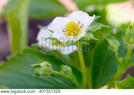 Macro Photo Of Blooming Strawberry White Flower With Bud On Bush In The Garden