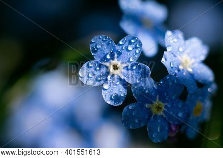 Tiny Wood Flowers Called Forget-me-not On Bright Sunlight.sparkling Water Drops On Delicate Petals.